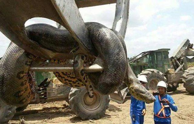 งูอนาคอนด้ายักษ์