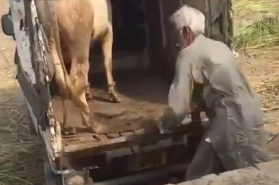 วัวฆ่าคน