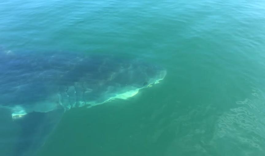 ปลาฉลามขาว