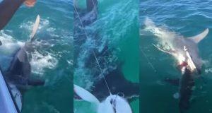 ฉลามหัวค้อน กิน ฉลามวาฬ