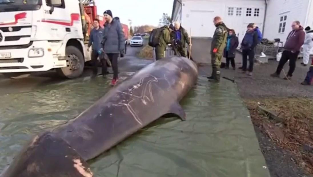 วาฬคูเวียร์ กินถุงพลาสติก 30 ใบ
